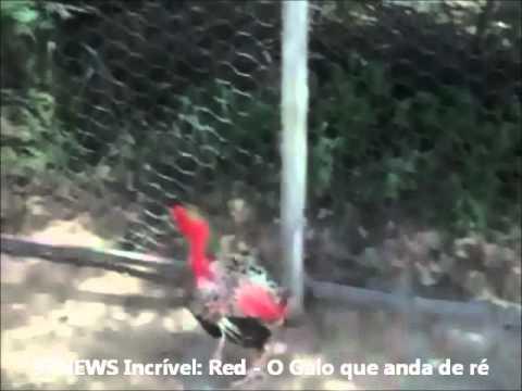 RED, O GALO QUE ANDA DE RÉ