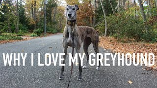 THINGS I LOVE ABOUT MY GREYHOUND!