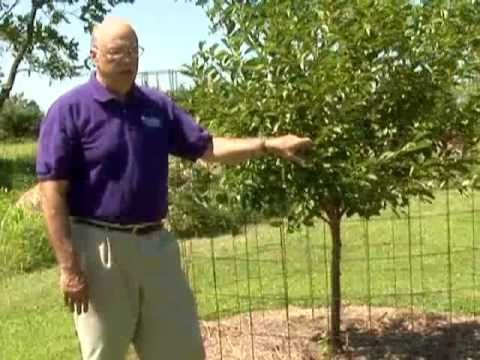 Protect Fruit Trees From Deer Youtube
