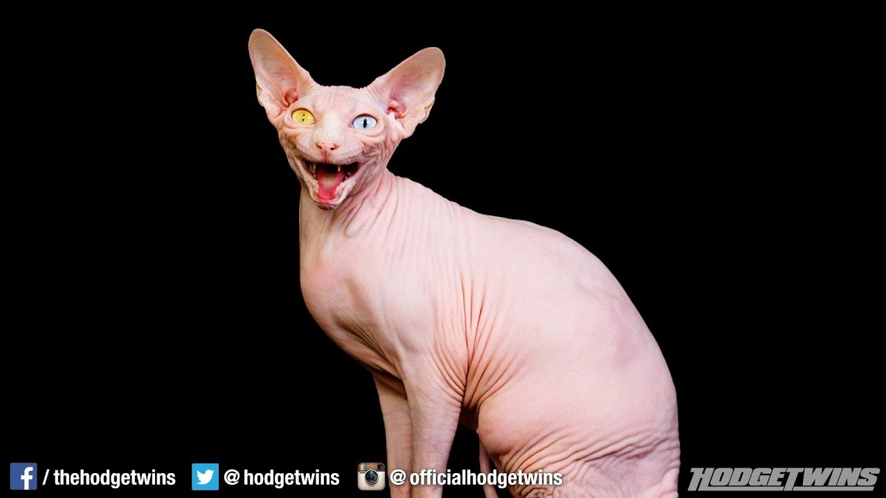 Ugliest Cat Ever @hodgetwins - YouTube