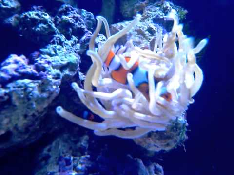 purple condy anemone and clownfish relationship