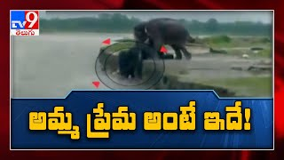 Mother elephant saves her baby from floodwater, wins heart..