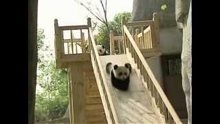 Cute pandas playing on the slide