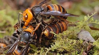 Two Giant Killer Hornet Colonies Fight to the Death