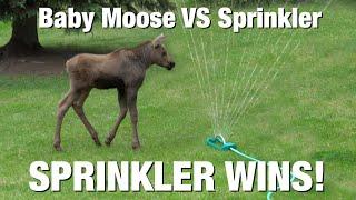 BABY MOOSE ATTACKS SPRINKLER!