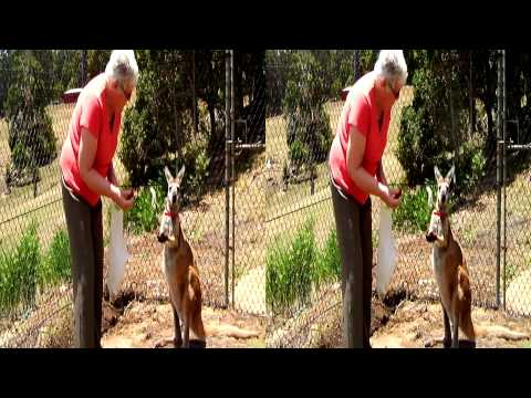 Pet kangaroo and llama feeding. In 2D or 3D