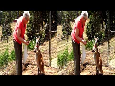 Pet kangaroo and llama feeding. In 2D or 3D