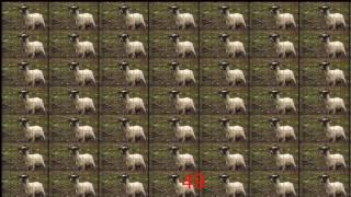 Screaming sheep doesn't scream 1,000,000 times