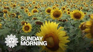 Nature: Sunflowers
