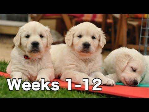 Golden Retriever Puppy Dogs Growing Weeks 1-12