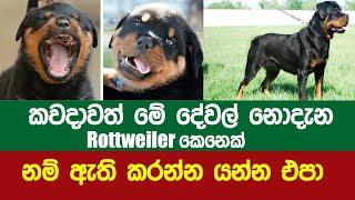 Rottweiler කෙනෙක් ගන්න කලින් මේ දේවල් අනිවාර්යෙන් දැන ගන්න   Rottweiler ගැන සම්පූර්ණ විස්තර