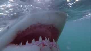 ホオジロザメと一緒に泳ぐ