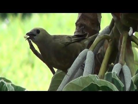Baixar Sanhaço do coqueiro na Embaúba, Tangará palmarum, Comida de passarinho,