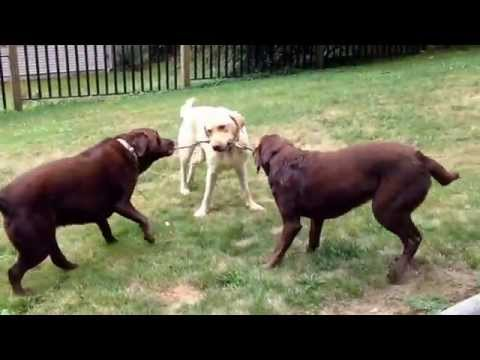 Labrador Retriever 3-way