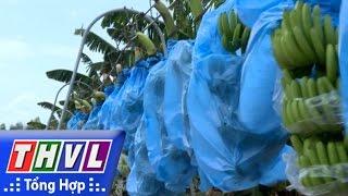 THVL | Nông thôn ngày nay: Trồng chuối xuất khẩu trên vùng đất phèn