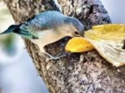 Baixar Aves do Brasil - O belo canto do sanhaço-azul.