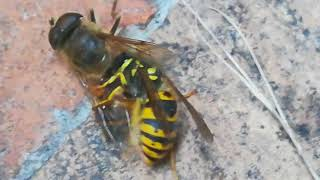 Wasp cuts in HALF a bug fly!!! CRAZIEST INSECT FIGHT HD!