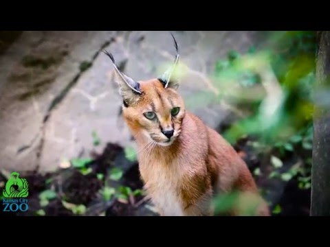 Caracal- New Species on Exhibit at KCZoo