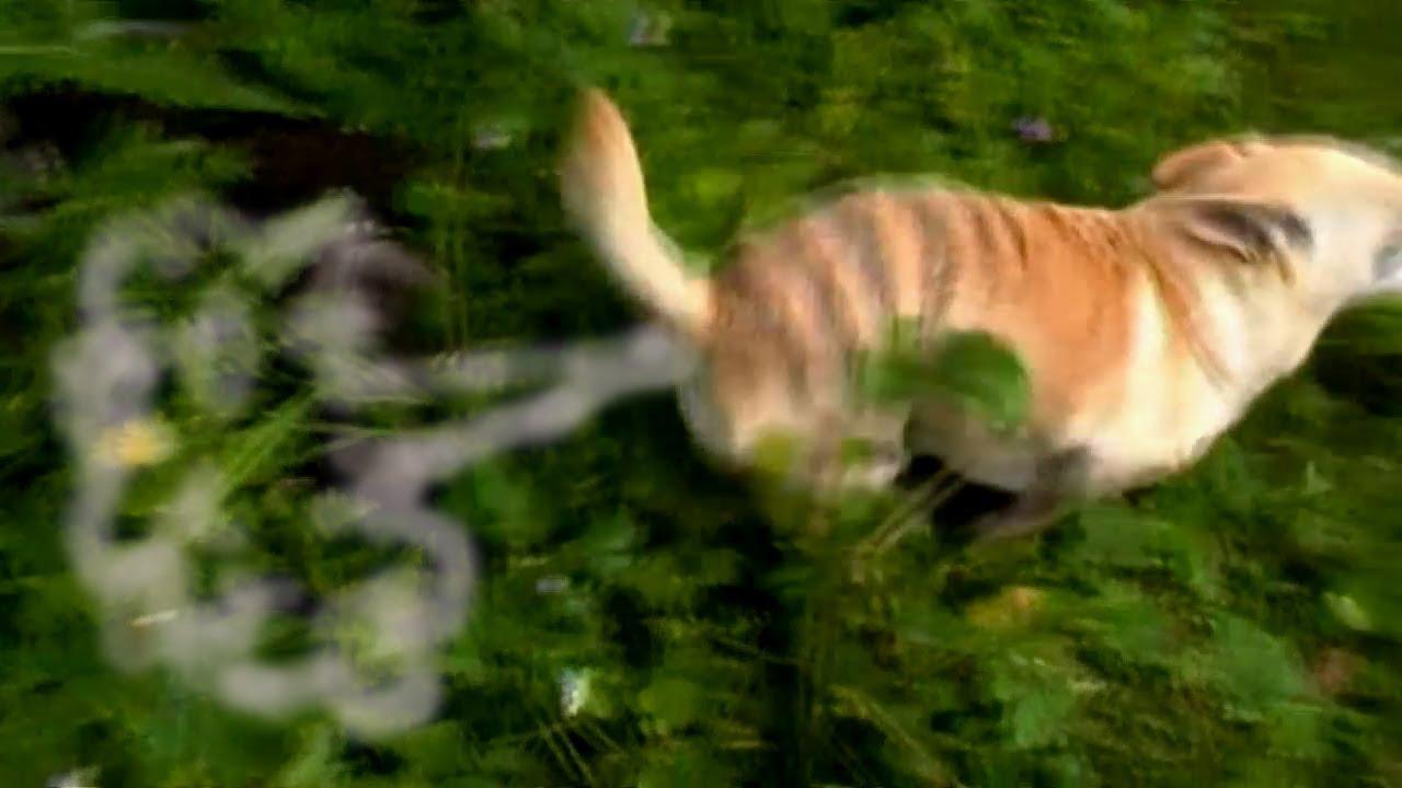 TASMANIAN TIGER FARTING - YouTube