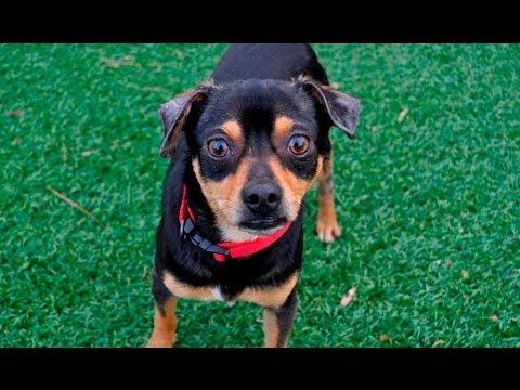 Cherokee the Chihuahua