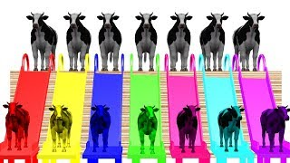 Cow Walk  Colors Colourful  For Kids || Learning Colors Nursery Rhymes