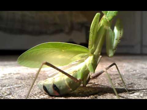 Giant Mantis For Sale Giant Asian Mantis Threat