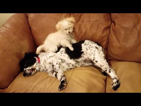 Pomapoo puppy tests patience of 7yr old Springer Spaniel