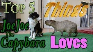 Top 5 things JoeJoe the Capybara Loves