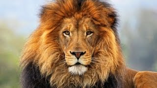 Life of lions in the world today | Lions Documentary Movies 2015