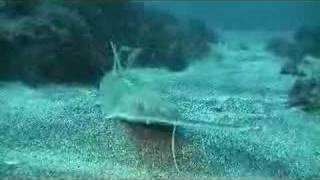 ノコギリザメ1