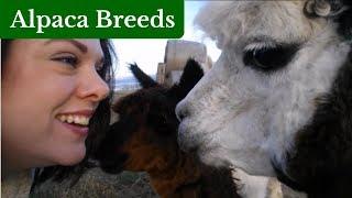 The Two Alpaca Breeds - Huacaya and Suri