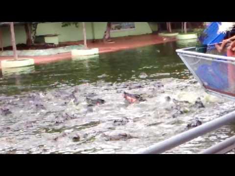 Câu cá sấu ở suối tiên