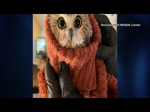 Owl found perched in Rockefeller Center tree from Oneonta