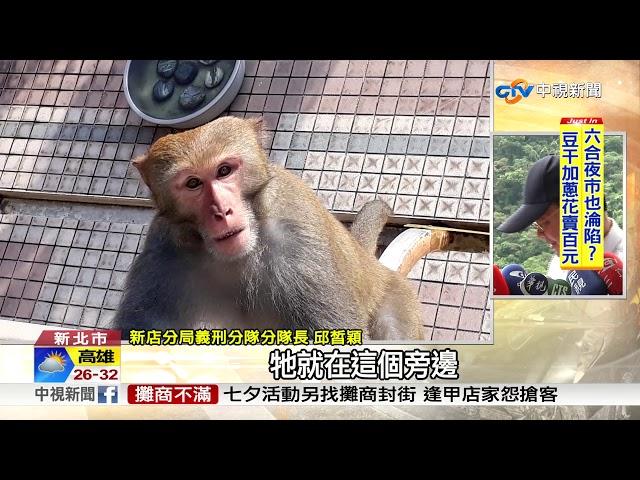 """花果山在新店? 達觀社區""""猴王""""帶頭作亂"""
