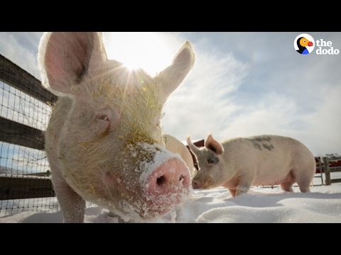 Pig Family Rescued From Flood Has The Best Life Now