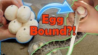 Incubating Bullsnake Eggs- My Worst Experience Ever