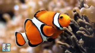 3 HOURS of Aquarium Relax Music - Coral Reef Aquarium - Stunning Clown Fish Aquarium 1080p HD