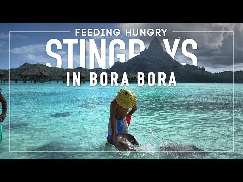 Feeding Hungry Stingrays on The Beach in Bora Bora