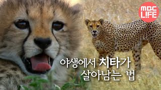 Incredible speed cheetah - Hunters-Wildlife Predators, #02, 치타, 쾌속 질주를 이용하라