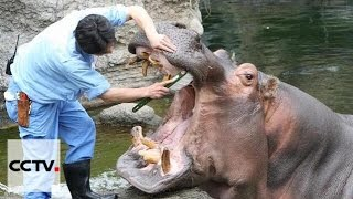 Hippo in Osaka's zoo enjoys teeth-cleaning service