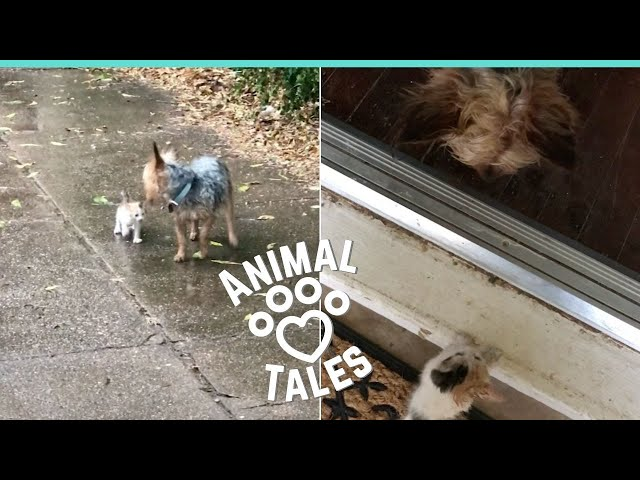 約克夏在雨中遇見流浪小奶貓 霸氣決定:我帶你回家!