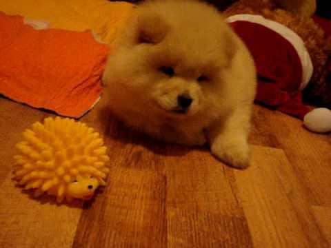 Maya..my 8 weeks old chow chow puppy - YouTube