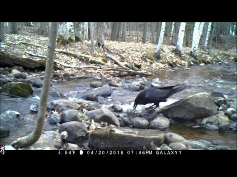Common Raven Catching Fish