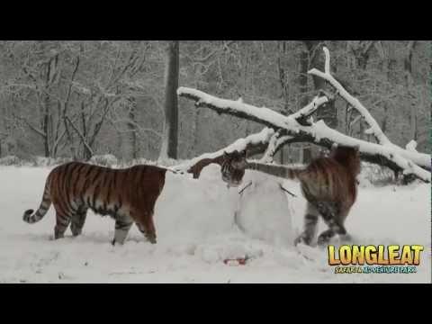Tygrysy kontra bałwany