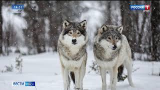 Стая голодных волков идёт в Сибирь из Казахстана
