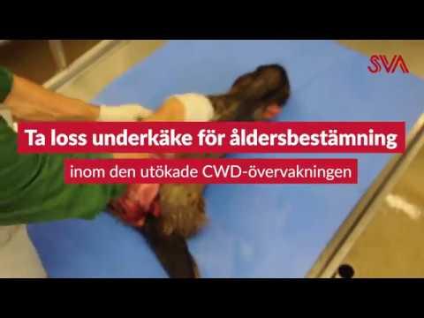 Så här tar du loss en underkäke för åldersbestämning, till den utökade CWD-övervakningen i Norrbottens län.