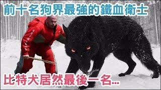 盤點前十名 狗 界最強的「鐵血衛士」,看家 犬 種的第一首選! 比特犬 居然最後一名...【 汪汪仙貝 】