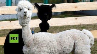 Las alpacas Romeo y Julieta lucen sus nuevos cortes de pelo inspirados en el Mundial