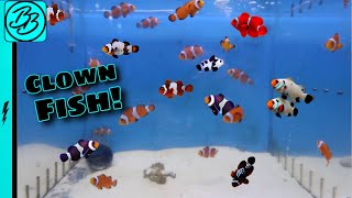 HUNDREDS of CLOWN FISH have the Most BEAUTIFUL COLORS!  *New Aquarium Pets!*