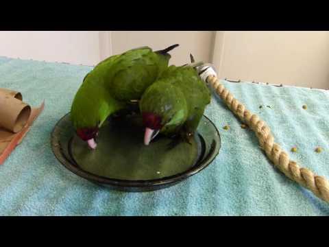Thick-billed Parrot Chicks Enjoy a Bath!